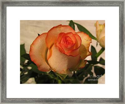 Beautiful  Rose Framed Print by Joyce Woodhouse