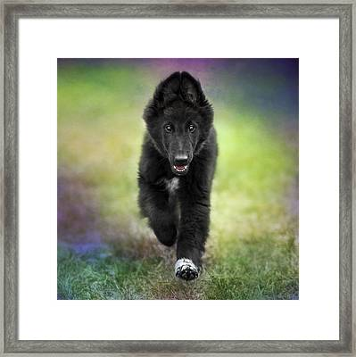 Belgian Sheepdog Puppy Framed Print by Wolf Shadow  Photography