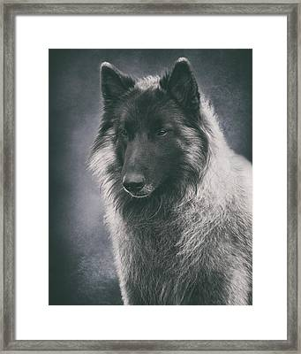 Belgian Tervuren Portrait Framed Print by Wolf Shadow  Photography
