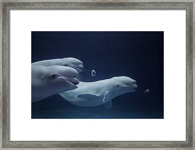 Beluga Delphinapterus Leucas Whale Trio Framed Print by Hiroya Minakuchi