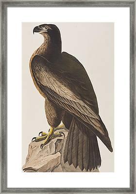 Bird Of Washington Framed Print by John James Audubon