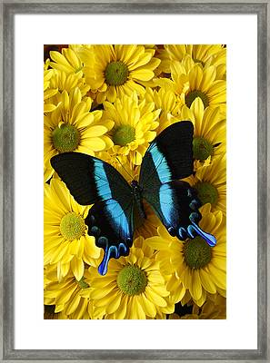 Black And Blue Butterfly Framed Print by Garry Gay