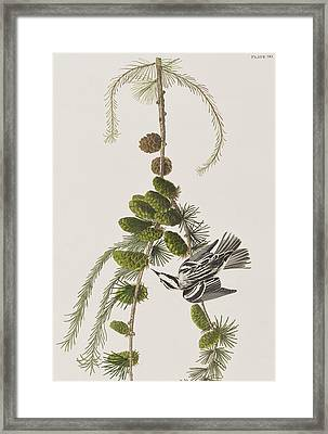 Black And White Creeper Framed Print by John James Audubon