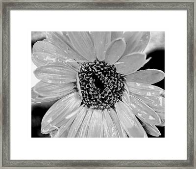 Black And White Gerbera Daisy Framed Print by Amy Fose