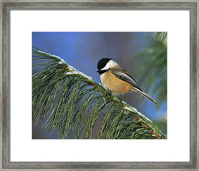 Black-capped Chickadee Framed Print by Tony Beck