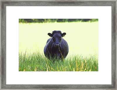 Black Cow Framed Print by Frances Lewis