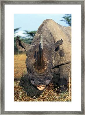 Black Rhinoceros Diceros Bicornis Framed Print by Gerard Lacz