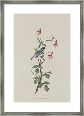 Black-throated Blue Warbler Framed Print by John James Audubon