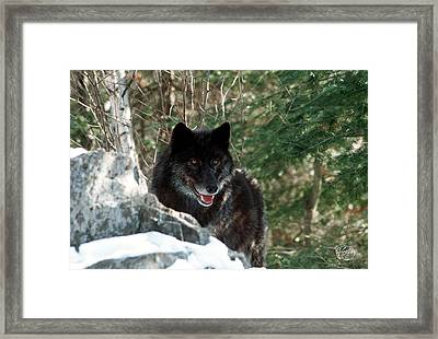 Black Wolf Framed Print by Brad Hoyt