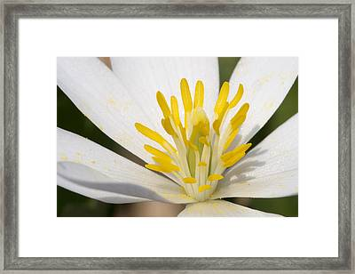 Bloodroot Flowers Framed Print by Steven Ralser
