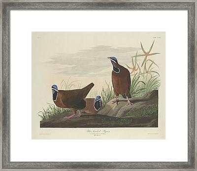 Blue-headed Pigeon Framed Print by John James Audubon
