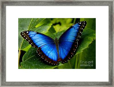 Blue Morpho Framed Print by Neil Doren
