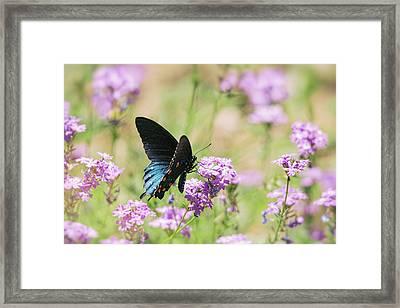 Blue Swallowtail Butterfly  Framed Print by Saija Lehtonen