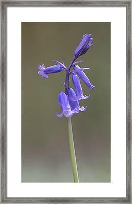 Bluebell Framed Print by Ian Hufton