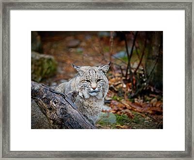 Bobcat Framed Print by Jim DeLillo