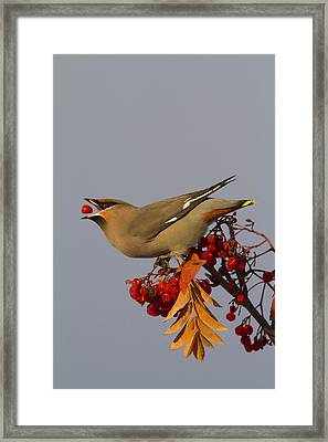 Bohemian Waxwing Perches To Eat Framed Print by Doug Lindstrand