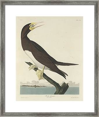 Booby Gannet Framed Print by John James Audubon