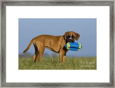 Boxer Puppy Framed Print by Jean-Louis Klein & Marie-Luce Hubert