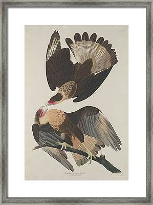Brasilian Caracara Eagle Framed Print by John James Audubon