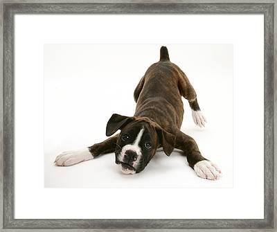 Brindle Boxer Pup Framed Print by Jane Burton