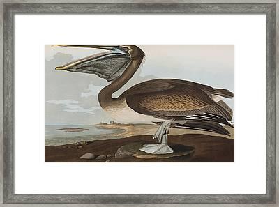 Brown Pelican Framed Print by John James Audubon