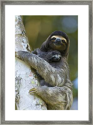 Brown-throated Three-toed Sloth Framed Print by Suzi Eszterhas