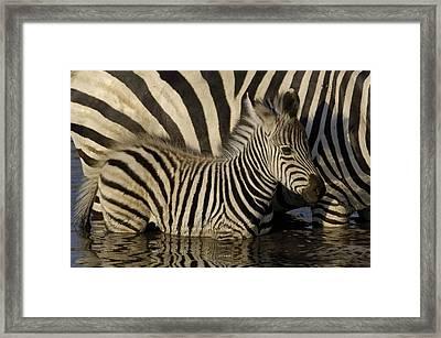 Burchells Zebra Equus Burchellii Foal Framed Print by Pete Oxford
