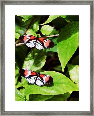Butterflies Framed Print by Sandy Taylor