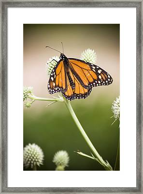 Butterfly In Wait Framed Print by Chad Davis