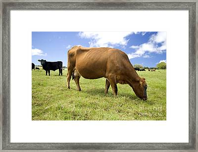 Cattle Grazing Framed Print by Inga Spence