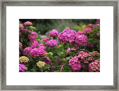 Magenta Hydrangea  Framed Print by Jessica Jenney