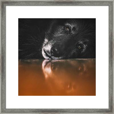 Close Up Portrait Of A Belgian Sheepdog Framed Print by Wolf Shadow Photography