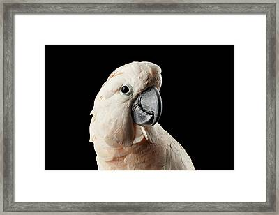 Closeup Head Of Beautiful Moluccan Cockatoo, Pink Salmon-crested Parrot Isolated On Black Background Framed Print by Sergey Taran