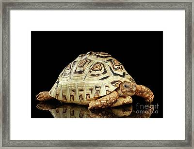 Closeup Leopard Tortoise Albino,stigmochelys Pardalis Turtle With White Shell On Isolated Black Back Framed Print by Sergey Taran