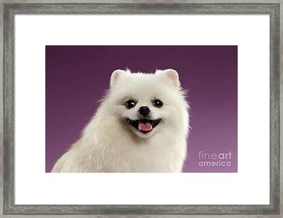 Closeup Portrait Of White Spitz Dog On Colored Background Framed Print by Sergey Taran