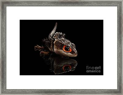 Closeup Red-eyed Crocodile Skink, Tribolonotus Gracilis, Isolated On Black Background Framed Print by Sergey Taran