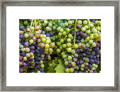 Colorful Wine Grapes On Grapevine Framed Print by Teri Virbickis