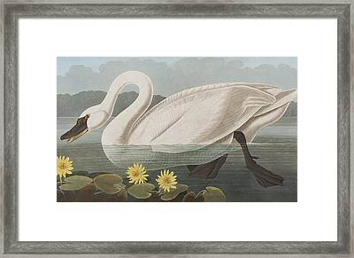 Common American Swan Framed Print by John James Audubon