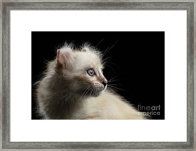 Cute American Curl Kitten With Twisted Ears Isolated Black Background Framed Print by Sergey Taran
