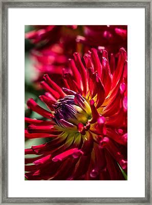 Dalhia Framed Print by Randy Bayne