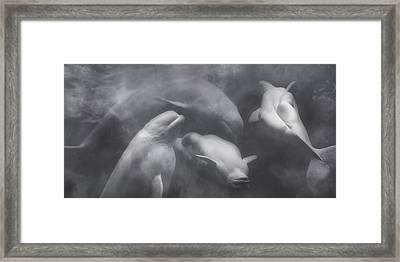 Dancing Belugas  Framed Print by Betsy C Knapp