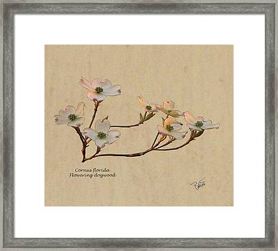 Dogwood  Framed Print by Bart Soutendijk