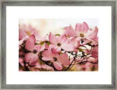 Dogwood Delight Framed Print by Jessica Jenney