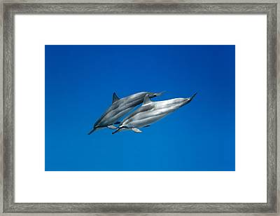 Dolphin Pair Framed Print by Sean Davey