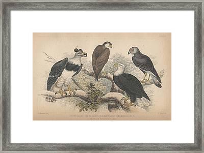 Eagles Framed Print by Oliver Goldsmith