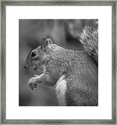 Eastern Grey Squirrel  Framed Print by Martin Newman