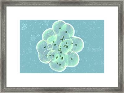 Embryo Formation Framed Print by Christian Darkin
