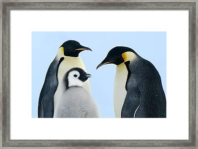 Emperor Penguin Aptenodytes Forsteri Framed Print by Jan Vermeer