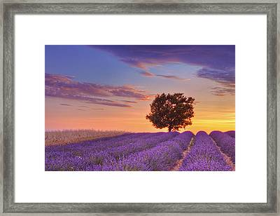 English Lavender Field With Tree At Sunset, Valensole, Valensole Plateau, Alpes-de-haute-provence, Provence-alpes-cote D Azur, Provence, France Framed Print by Martin Ruegner