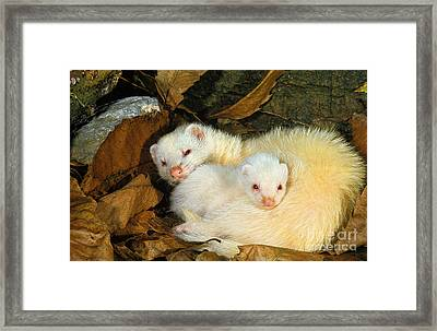 Ferret Mustela Putorius Furo Framed Print by Gerard Lacz